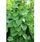 GARTENKRONE Pfeifenwinde, Aristolochia macrophylla, creme, winterhart-Thumbnail