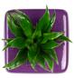 Pflanzen in Keramik, BxHxT: 16 x 16 x 22 cm, lila-Thumbnail