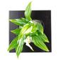 flowerbox Pflanzenbild, BxHxT: 17 x 17 x 6 cm, schwarz-Thumbnail