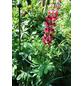 Peacock Pflanzenstütze, BxHxT: 32 x 2 x 32 cm, Stahl-Thumbnail