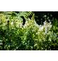 Peacock Pflanzenstütze, BxHxT: 54 x 2 x 54 cm, Stahl-Thumbnail