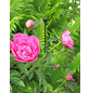 Peacock Pflanzenstütze, ØxH: 7 mm x 100 cm, Stahl-Thumbnail
