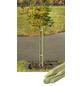 MR. GARDENER Pflanzstab, Holz, BxHxT: ca. 3,2 x 150 x 3,2 cm-Thumbnail