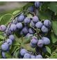 GARTENKRONE Pflaume, Prunus domestica »Opal«, Früchte: süß-säuerlich, zum Verzehr geeignet-Thumbnail