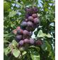 GARTENKRONE Pflaume, Prunus domestica »The Czar«, Früchte: süß-säuerlich, zum Verzehr geeignet-Thumbnail