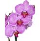 GARTENKRONE Phalaenopsis-Thumbnail