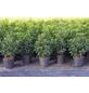 GARTENKRONE Portugiesische Lorbeerkirsche  Prunus lusitanica »Angustifolia«-Thumbnail