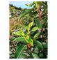 GARTENKRONE Portugiesische Lorbeerkirsche , Prunus lusitanica »Angustifolia«, weiß, winterhart-Thumbnail