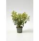 Portugiesischer Kirschlorbeer, Prunus lusitanica »Angustifolia«, Blütenfarbe weiß-Thumbnail