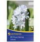 KIEPENKERL Porzellanblümchen scilloides Puschkinia-Thumbnail