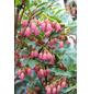 Prachtglocke, Enkianthus camanulatus, Blütenfarbe rosa-Thumbnail