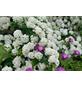 GARTENKRONE Prachtspiere, Spiraea vanhouttei, Blütenfarbe weiß-Thumbnail