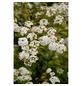GARTENKRONE Prachtspiere, Spiraea vanhouttei, weiß, winterhart-Thumbnail