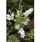 Prunkspiere, Exochorda racemosa »Niagara«, Blütenfarbe weiß-Thumbnail