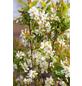 Prunkspiere, Exochorda serratifolia »Snow White«, Blütenfarbe weiß-Thumbnail