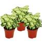 Purpurtute 3er Set Syngonium podophyllum »Pixie«-Thumbnail