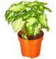 GARTENKRONE Purpurtute Syngonium podophyllum »Arrow«-Thumbnail