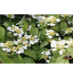 Pyramiden-Schneeball, Viburnum plicatum »Kilimandjaro«, Blütenfarbe weiß-Thumbnail