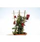 FLORAWORLD Rankhilfe, BxHxT: 32 x 75 x 1,5 cm, Bambus-Thumbnail