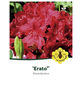 Rhododendron »Erato«, dunkelrot, Höhe: 30 - 40 cm-Thumbnail