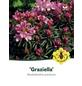 Rhododendron »Graziella«, rosa, Höhe: 30 - 40 cm-Thumbnail
