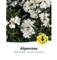 Rhododendron/großblumige Alpenrose, Rhododendron roxieanum oreonastes, weiß, Höhe: 30 - 40 cm-Thumbnail