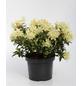 Rhododendron hanceanum »Princess Anne«, hellgelb, Höhe: 25 - 30 cm-Thumbnail