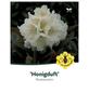 Rhododendron »Honigduft«, weiß, Höhe: 30 - 40 cm-Thumbnail