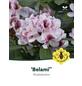 Rhododendron hybride »Belami«, weiß/rosa, Höhe: 30 - 40 cm-Thumbnail