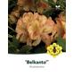 Rhododendron hybride »Belkanto«, goldgelb, Höhe: 30 - 40 cm-Thumbnail
