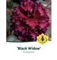Rhododendron hybride »Black Widow«, dunkelrot, Höhe: 30 - 40 cm-Thumbnail