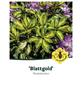 Rhododendron hybride »Blattgold«, lila, Höhe: 30 - 40 cm-Thumbnail