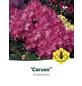 Rhododendron hybride »Caruso«, rosa/purpurfarben, Höhe: 30 - 40 cm-Thumbnail