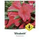 Rhododendron hybride »Elizabeth«, rosa/pink, Höhe: 30 - 40 cm-Thumbnail