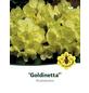Rhododendron hybride »Goldinetta«, hellgelb, Höhe: 30 - 40 cm-Thumbnail