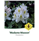 Rhododendron hybride »Madame Masson«, weiß, Höhe: 30 - 40 cm-Thumbnail