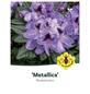 Rhododendron »Metallica«, lila, Höhe: 30 - 40 cm-Thumbnail