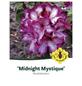 Rhododendron »Midnight Mystique«, rot/weiß, Höhe: 30 - 40 cm-Thumbnail