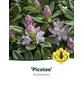 Rhododendron »Picotee«, zweifarbig, Höhe: 30 - 40 cm-Thumbnail