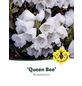 Rhododendron »Queen Bee«, weiß, Höhe: 30 - 40 cm-Thumbnail