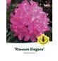 Rhododendron »Roseum Elegans«, rosa, Höhe: 40 - 50 cm-Thumbnail