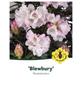 Rhododendron roxieanum »Blewbury«, weiß, Höhe: 30 - 40 cm-Thumbnail