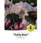 Rhododendron »Teddy Bear«, rosa, Höhe: 30 - 40 cm-Thumbnail