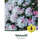Rhododendron yakushimanum »Edelweiß«, weiß, Höhe: 30 - 40 cm-Thumbnail