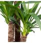 Riesen-Palmlilie Yucca elephantipes-Thumbnail