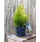 Riesenlebensbaum plicata Thuja »4Ever Goldy«-Thumbnail