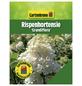 GARTENKRONE Rispenhortensie, Hydrangea paniculata »Grandiflora«, creme-Thumbnail