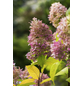 GARTENKRONE Rispenhortensie, Hydrangea paniculata »Limelight«, creme-Thumbnail
