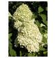 GARTENKRONE Rispenhortensie Hydrangea paniculata »Limelight -R-«-Thumbnail