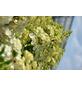 GARTENKRONE Rispenhortensie, Hydrangea paniculata »Magical Moonlight«, creme-Thumbnail
